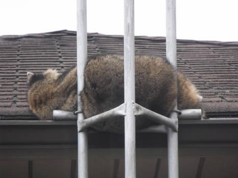 Relaxing Raccoon