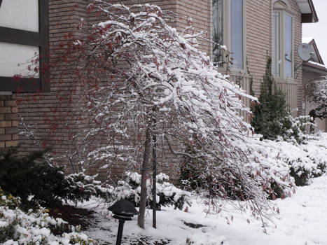 Japanese Maple in Winter