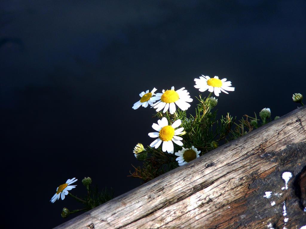daisy dae by jannyman22