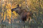 Moose from Saltstraumen