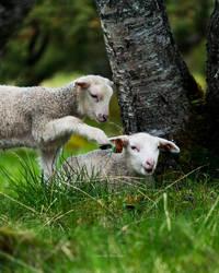 Twin lambs