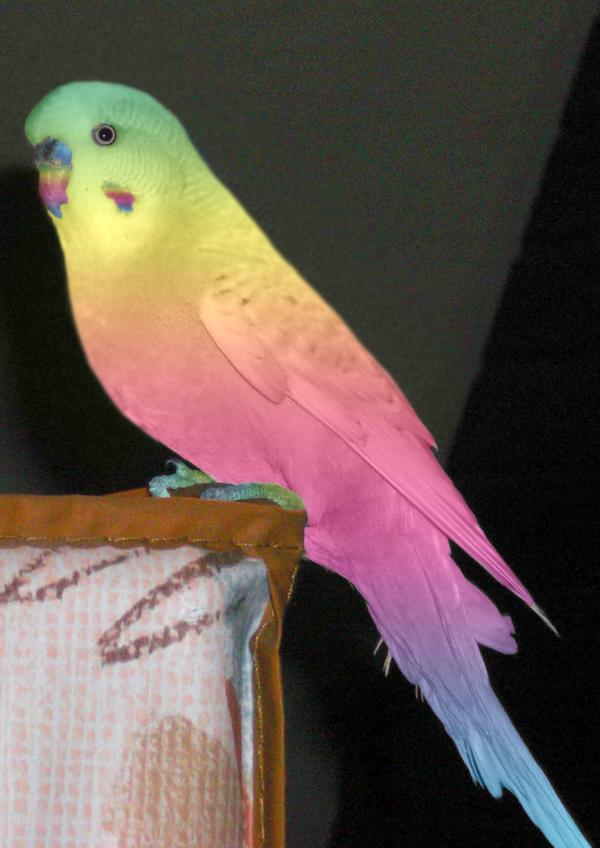 parakeet colors - photo #35