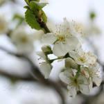 Cherry blossom by Haen9