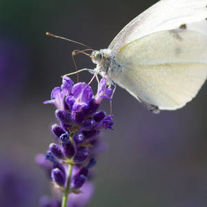 lavender + butterfly