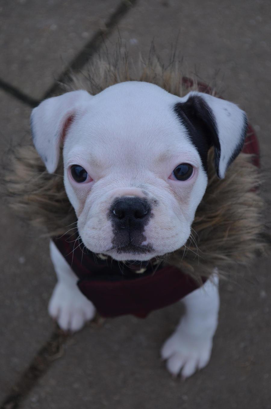 French Bulldog Puppy witch Jacket by Mayli909