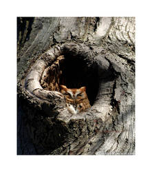 Eastern Screech Owl by kingkool6