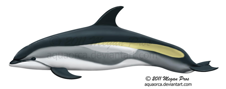 Atlantic white sided dolphin by aquaorca on deviantart