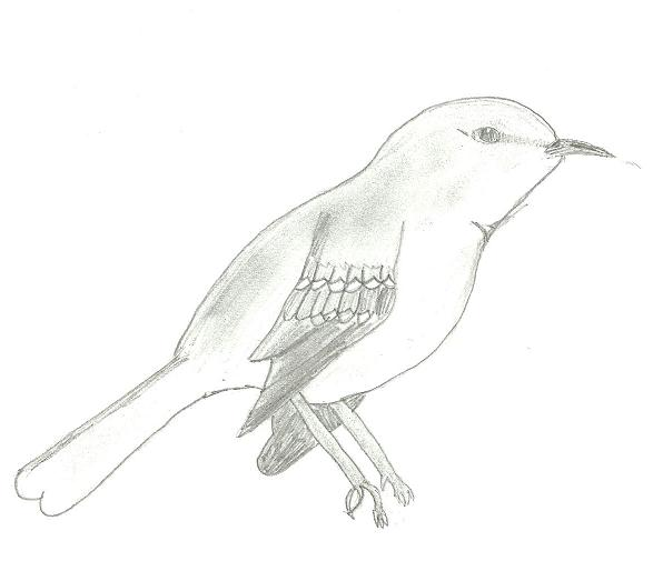 Sketch northern mockingbird by omg its piney on deviantart