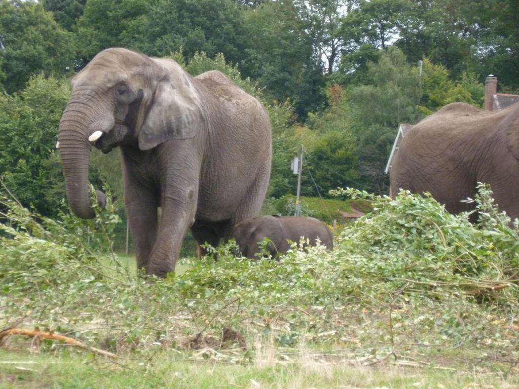 African Bush Elephants feeding on branches (2) by Captain-Art-hero