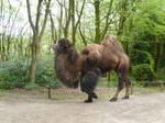 Male Bactrian Camel
