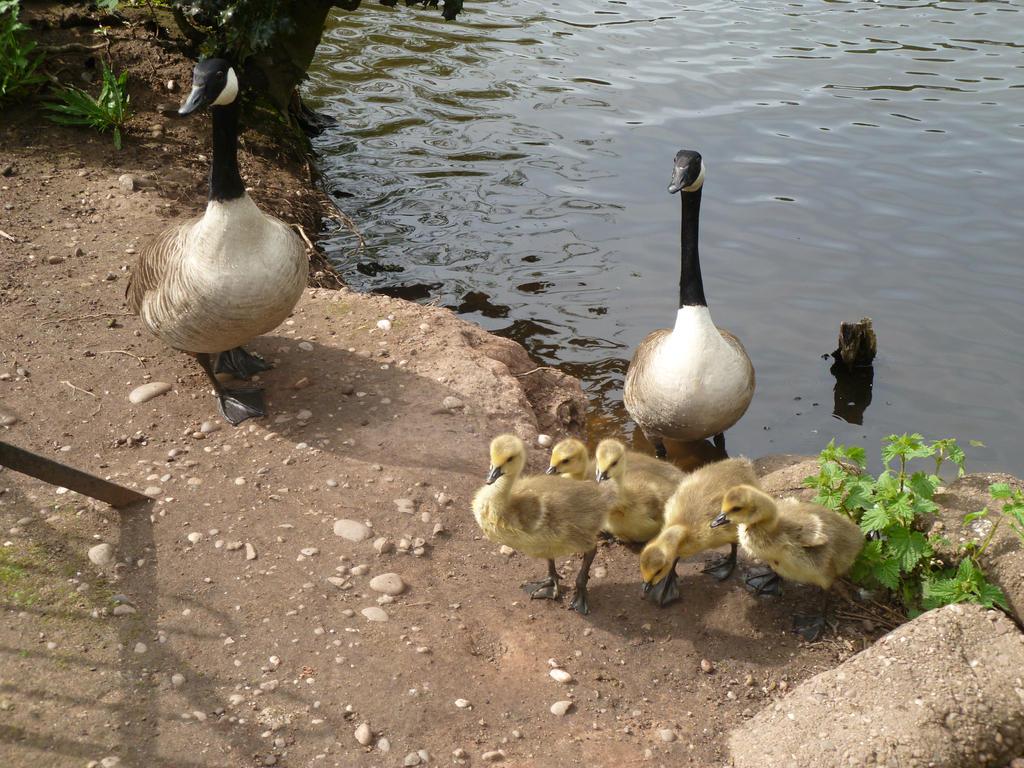 canada goose Tulllim Dzieci