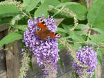 Peacock Butterfly Feeding on Flowers 17