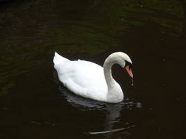 Mute Swan 6 by Captain-Art-hero