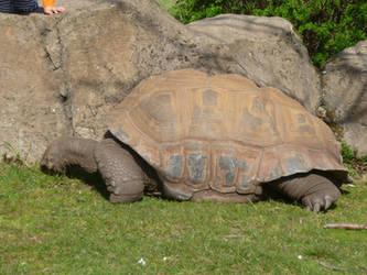 T.Z. Aldabra Giant Tortoise by Captain-Art-hero