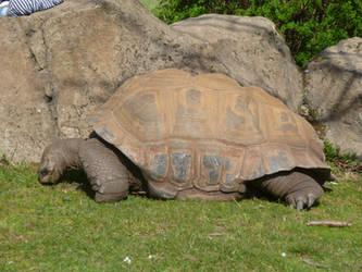 T.Z. Aldabra Giant Tortoise 3 by Captain-Art-hero