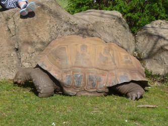 T.Z. Aldabra Giant Tortoise 4 by Captain-Art-hero