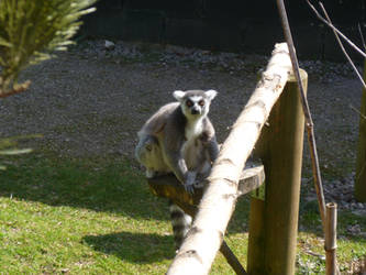 T.Z. Ring-Tailed Lemur by Captain-Art-hero