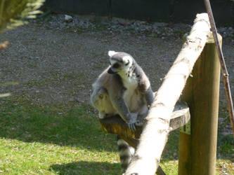 T.Z. Ring-Tailed Lemur 2 by Captain-Art-hero