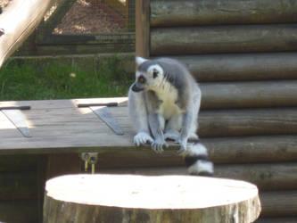 T.Z. Ring-Tailed Lemur 3 by Captain-Art-hero