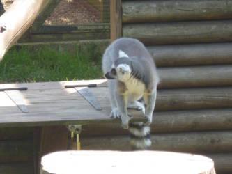 T.Z. Ring-Tailed Lemur 4 by Captain-Art-hero