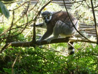 T.Z. Ring-Tailed Lemur in Tree 2 by Captain-Art-hero