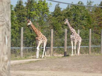 T.Z. Two Giraffes by Captain-Art-hero