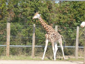 T.Z. A Walking Giraffe by Captain-Art-hero