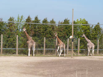 T.Z. Three Giraffes by Captain-Art-hero
