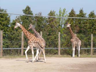 T.Z. Three Giraffes 3 by Captain-Art-hero