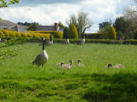 Canada Geese in Field 2