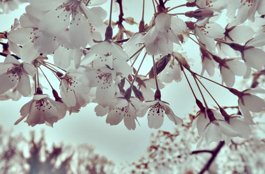 Its Raining Blossom !!!