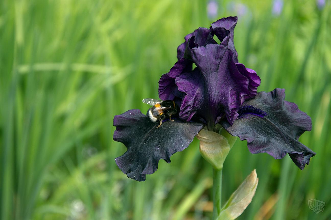 iris barbata elatior with bee by thorbet on deviantart. Black Bedroom Furniture Sets. Home Design Ideas