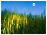 Moon Above the field of rye