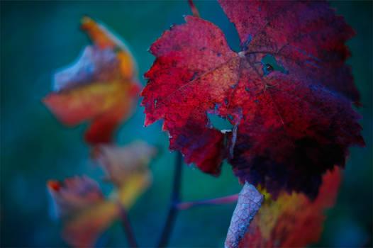 Autumn Evening in the Vineyard