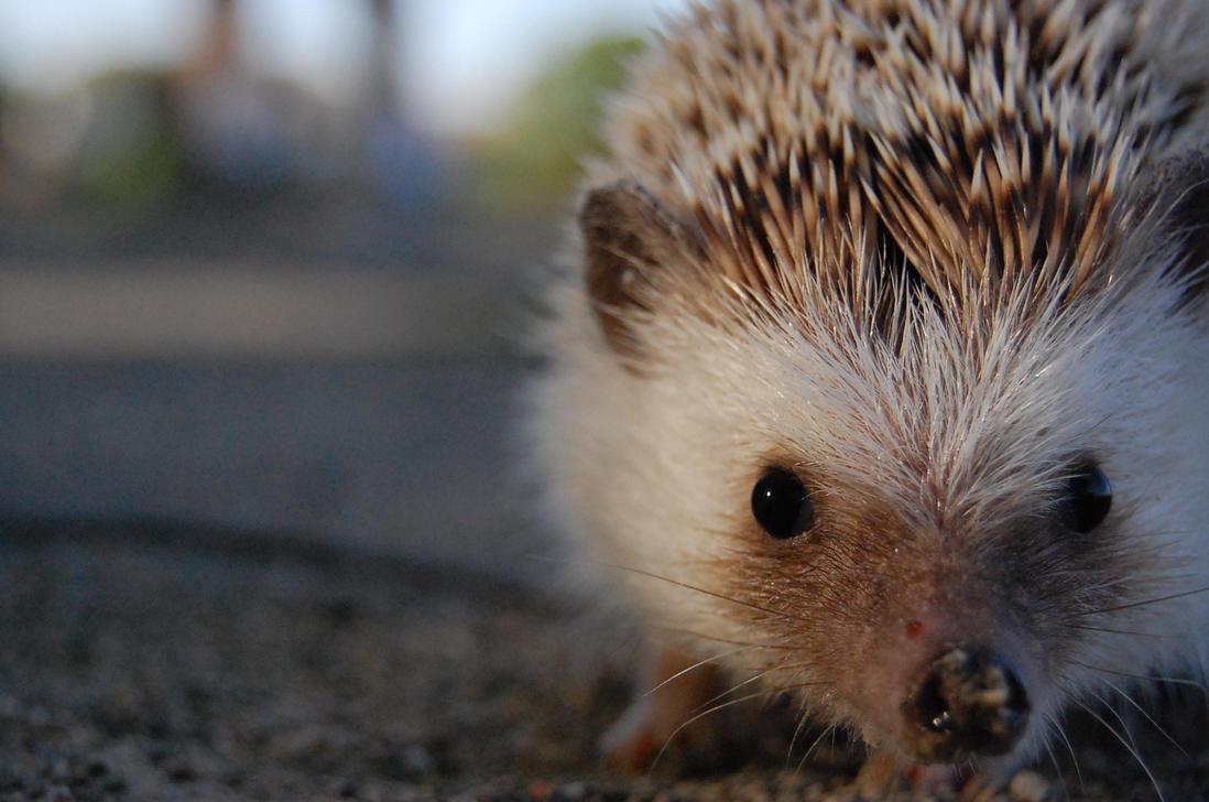 Hedgehog Macro by hedgiehog1