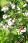 lingon berry flowers