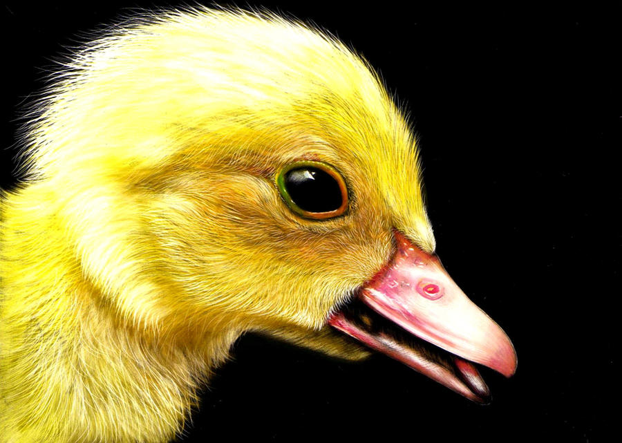 Duckling by shonechacko