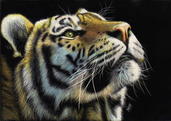 Siberian Tiger by shonechacko