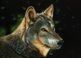 Golden wolf scratchboard