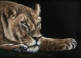 Lioness scratchboard