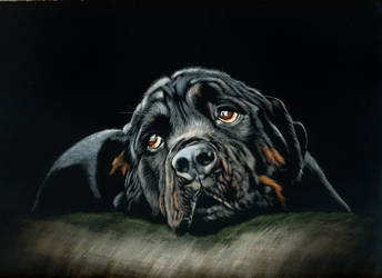 Rottweiler - scratchboard by shonechacko