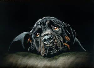 Rottweiler - scratchboard