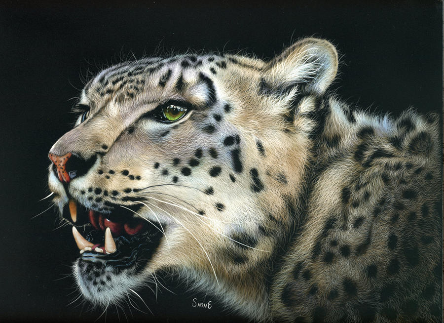 Misha - Snow leopard Scratchboard by shonechacko