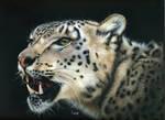 Misha - Snow leopard Scratchboard