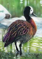 WIP - White-faced Whistling Duck - INKS by shonechacko