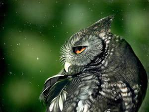 WIP - Screech owl - Inks on clayboard