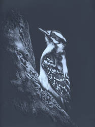 Woodpecker - scratchboard
