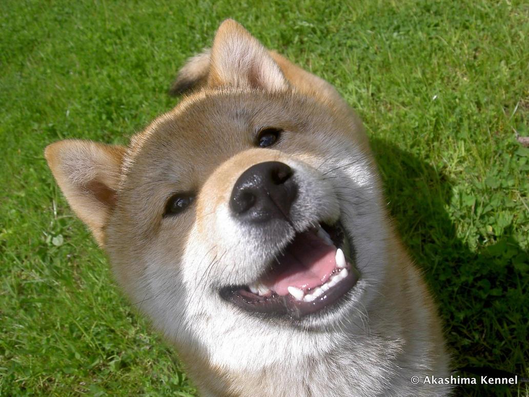 Sato the smiling Shiba Inu by Shikaiba
