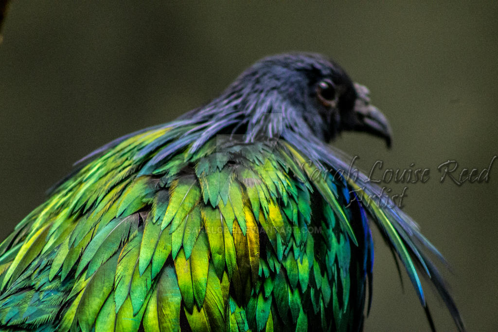 Nicobar pigeon 2 by timesoul