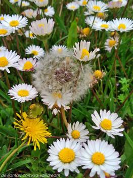 blissful among daisis